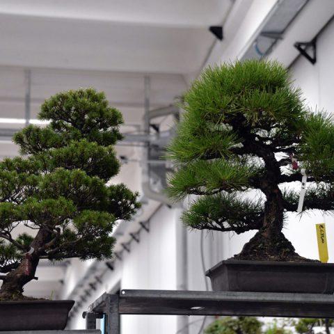 mondo-bonsai-2016-parte1-15