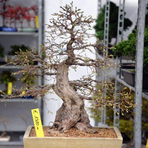 mondo-bonsai-2016-parte1-17