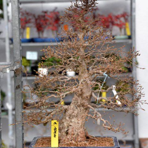 mondo-bonsai-2016-parte1-18