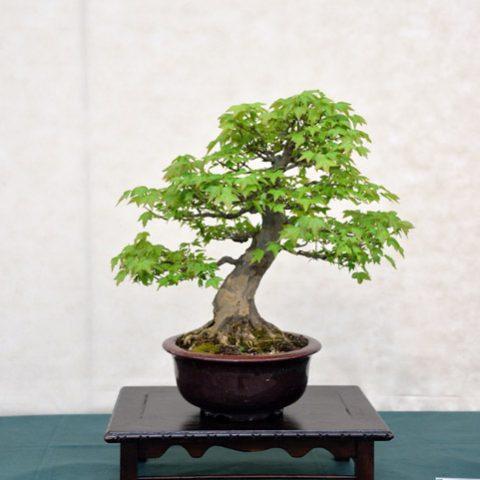 mondo-bonsai-2016-parte2-01
