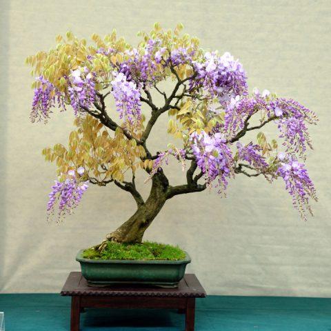 mondo-bonsai-2016-parte2-02