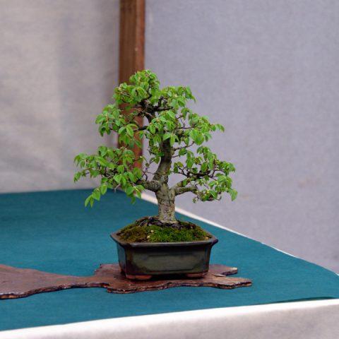 mondo-bonsai-2016-parte2-03