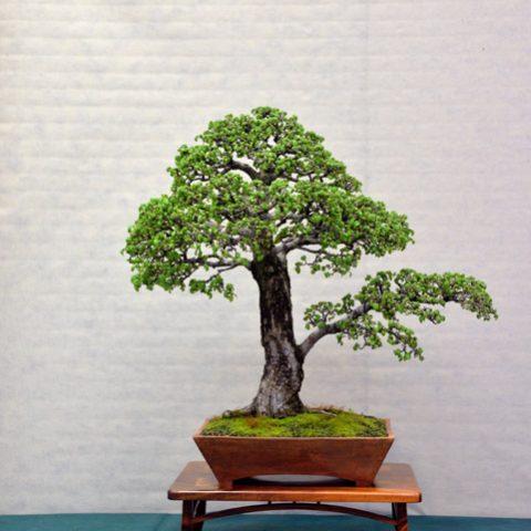 mondo-bonsai-2016-parte2-07