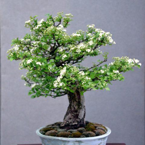 mondo-bonsai-2016-parte2-08