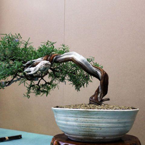mondo-bonsai-2017-17