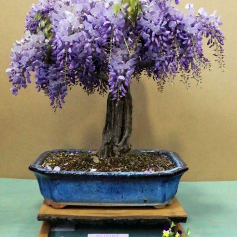 mondo-bonsai-2017-18